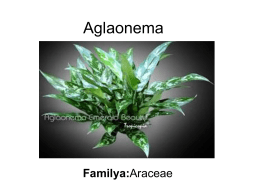 Aglaonema - Plant Media