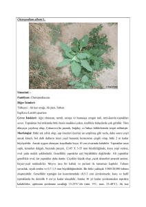 Chenopodium album L